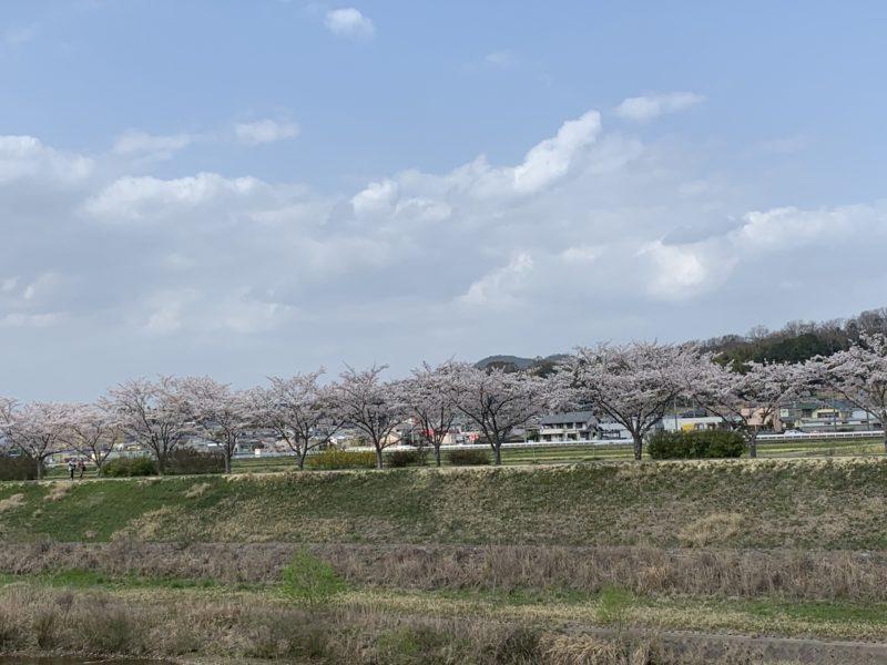 桜のパワーを受け取りましょう